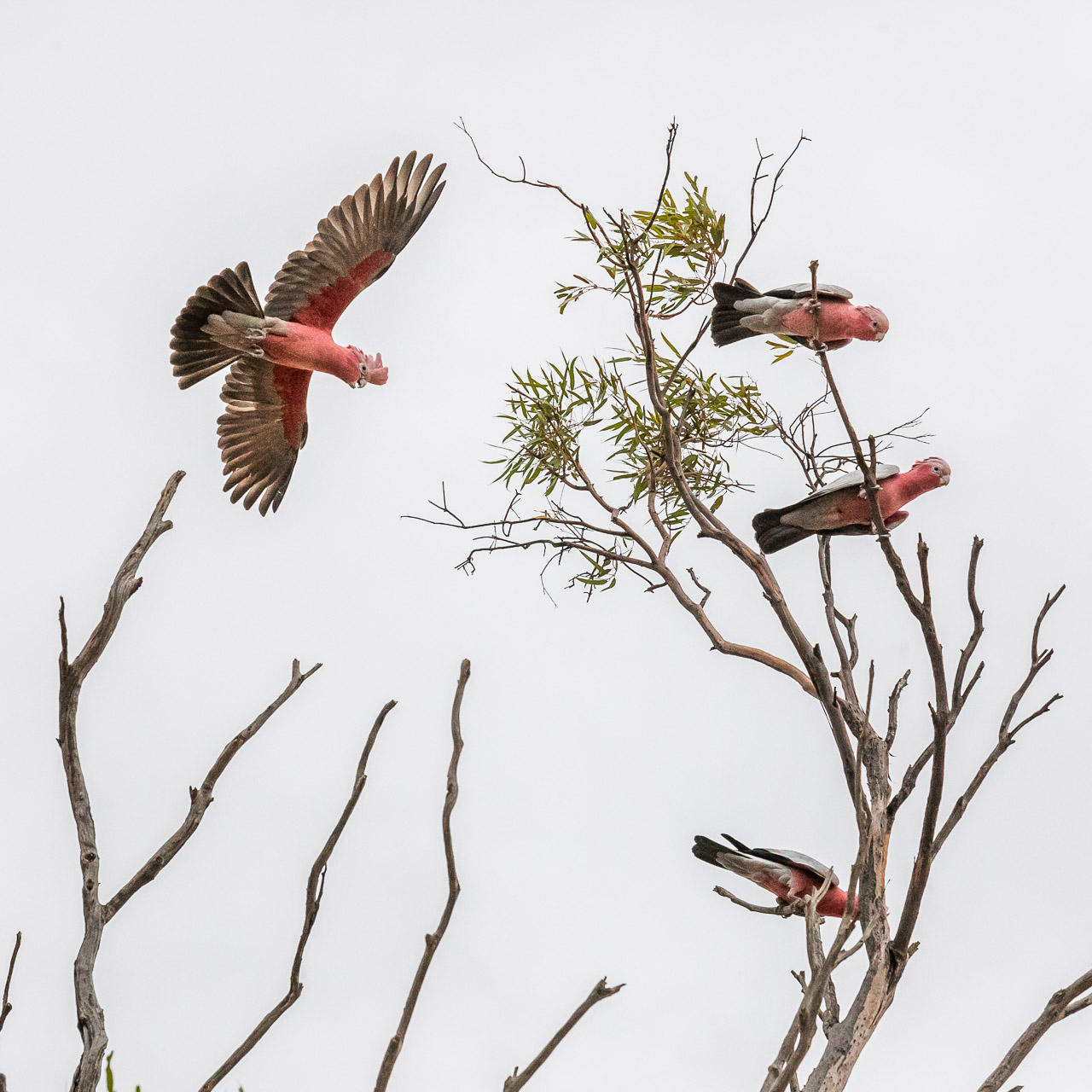 Flying galah and other galahs sitting in a salmon gum eucalyptus tree