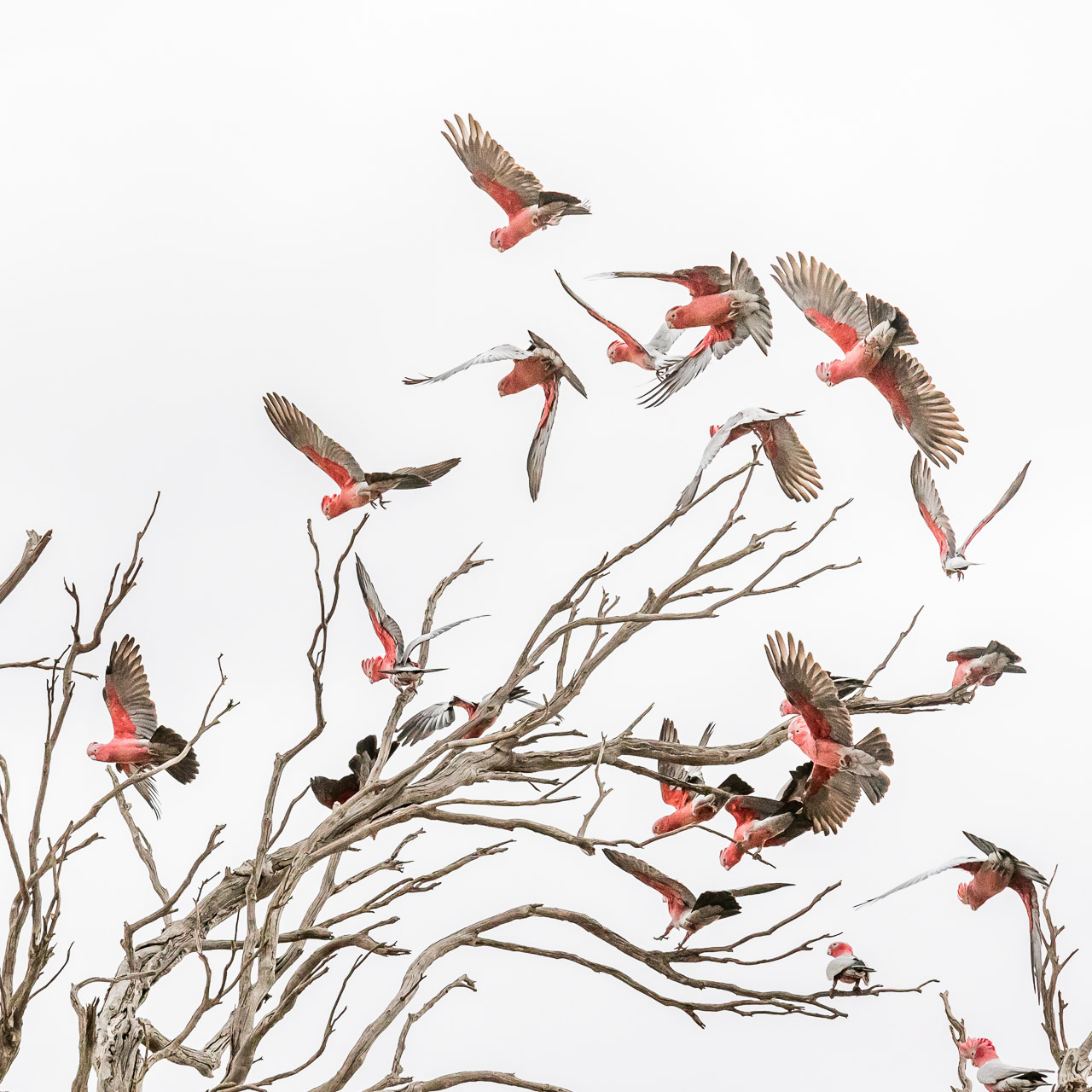 Galahs taking flight from an old eucalyptus tree