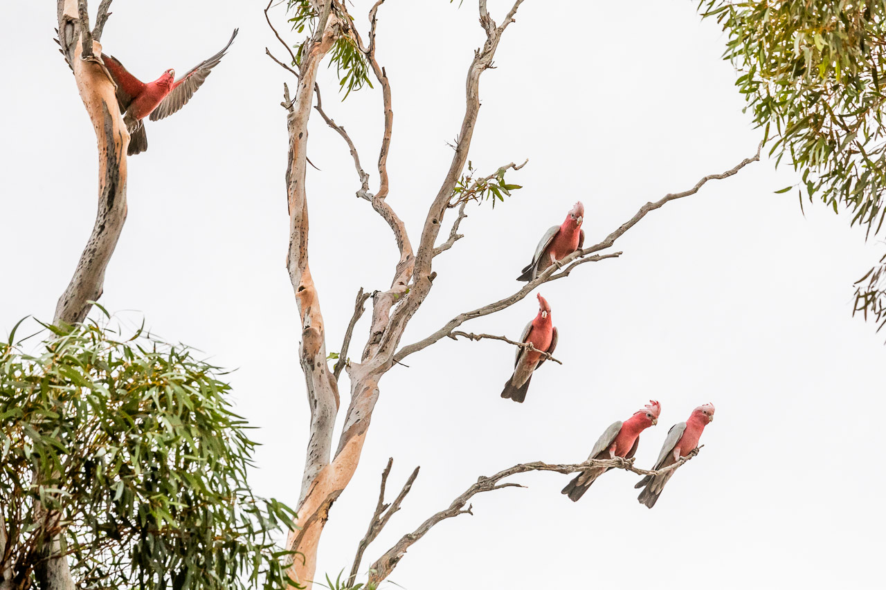 Galahs on the branches of a salmon gum in Mukinbudin
