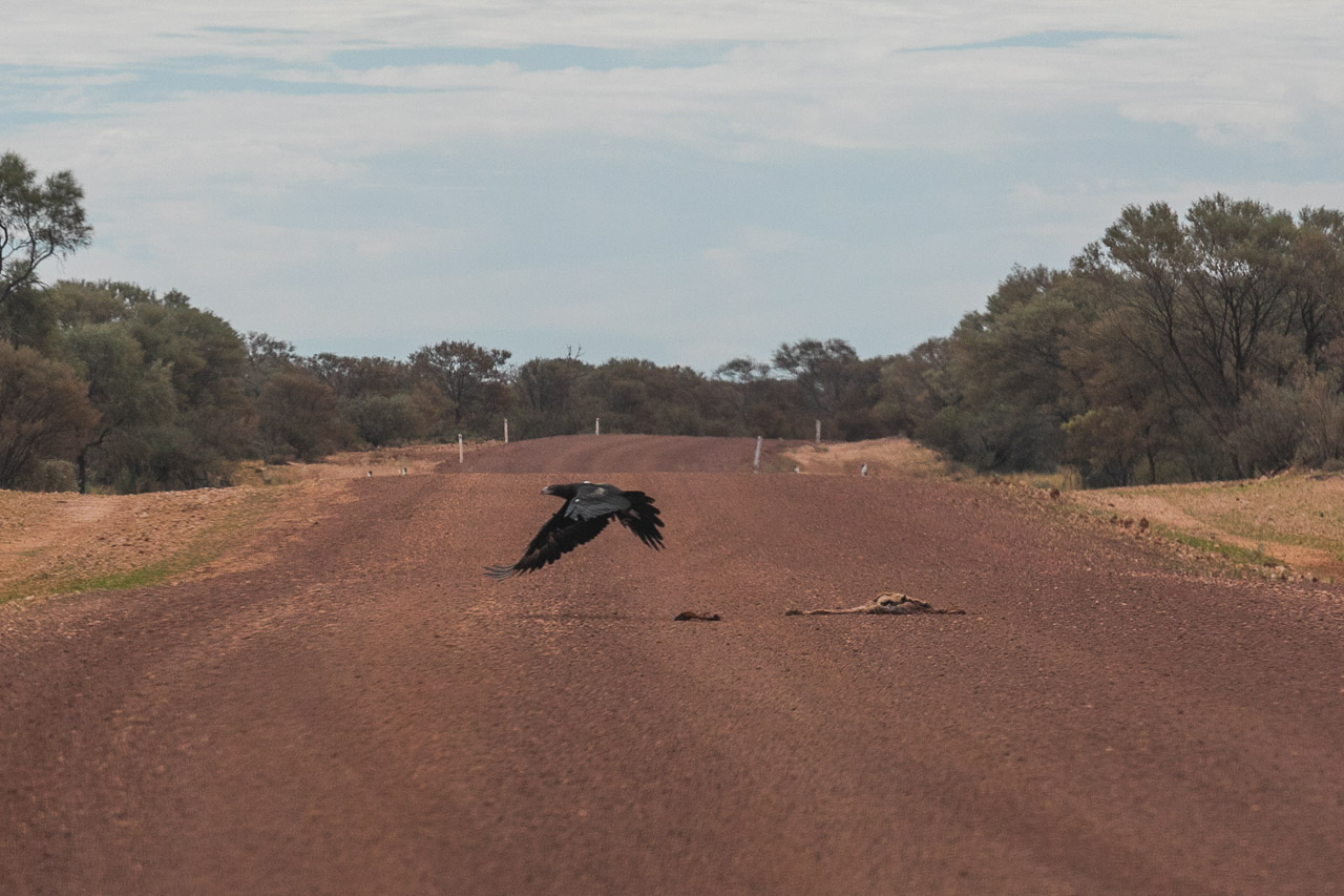Wedge-tailed eagle taking flight after feasting on road kill
