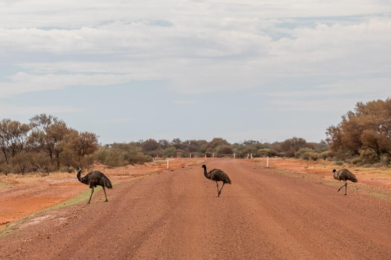 Three emus crossing the dirt road