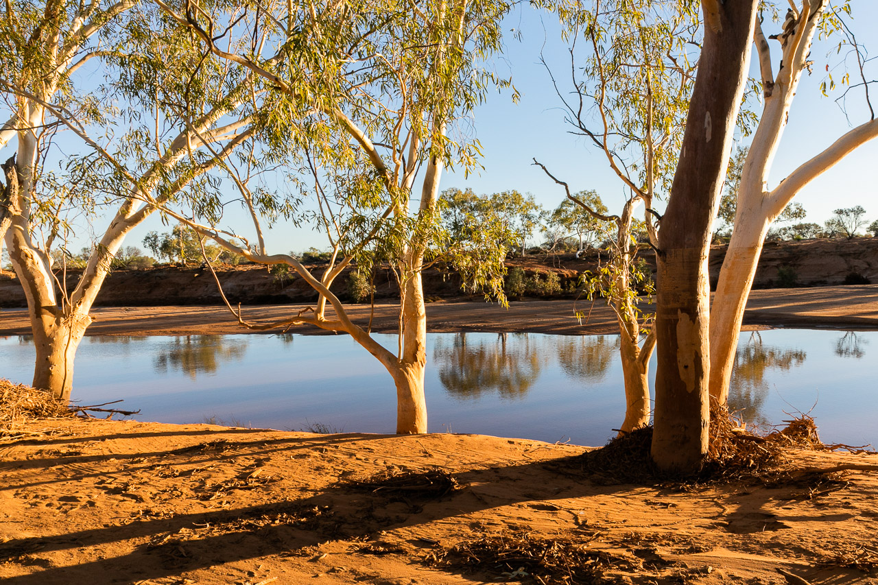The river gums with their white trunks beside the Murchison River