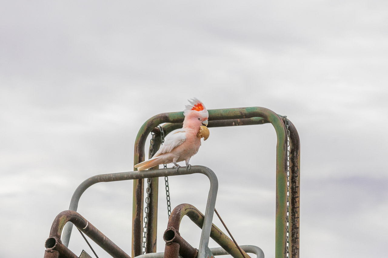 Major Mitchell's (Pink) Cockatoo at Wooleen Station