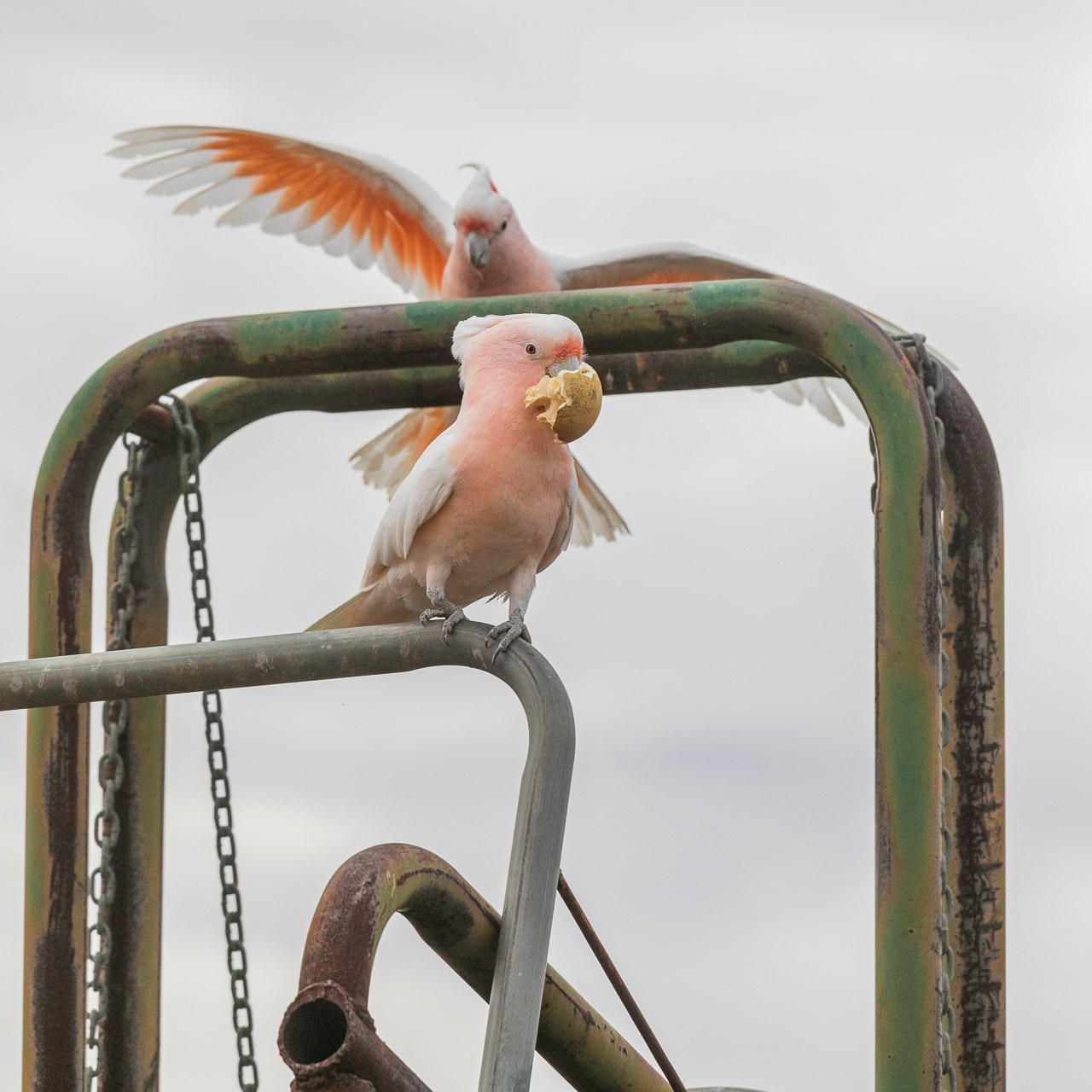 Two Major Mitchell's (Pink) Cockatoos at Wooleen Station, Western Australia