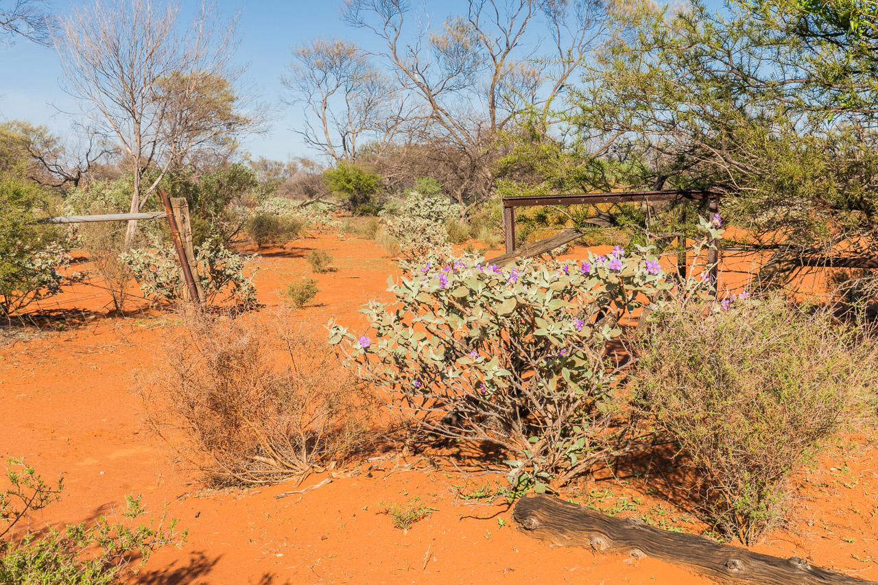 Native flora and old fences at Carey Downs Station in WA