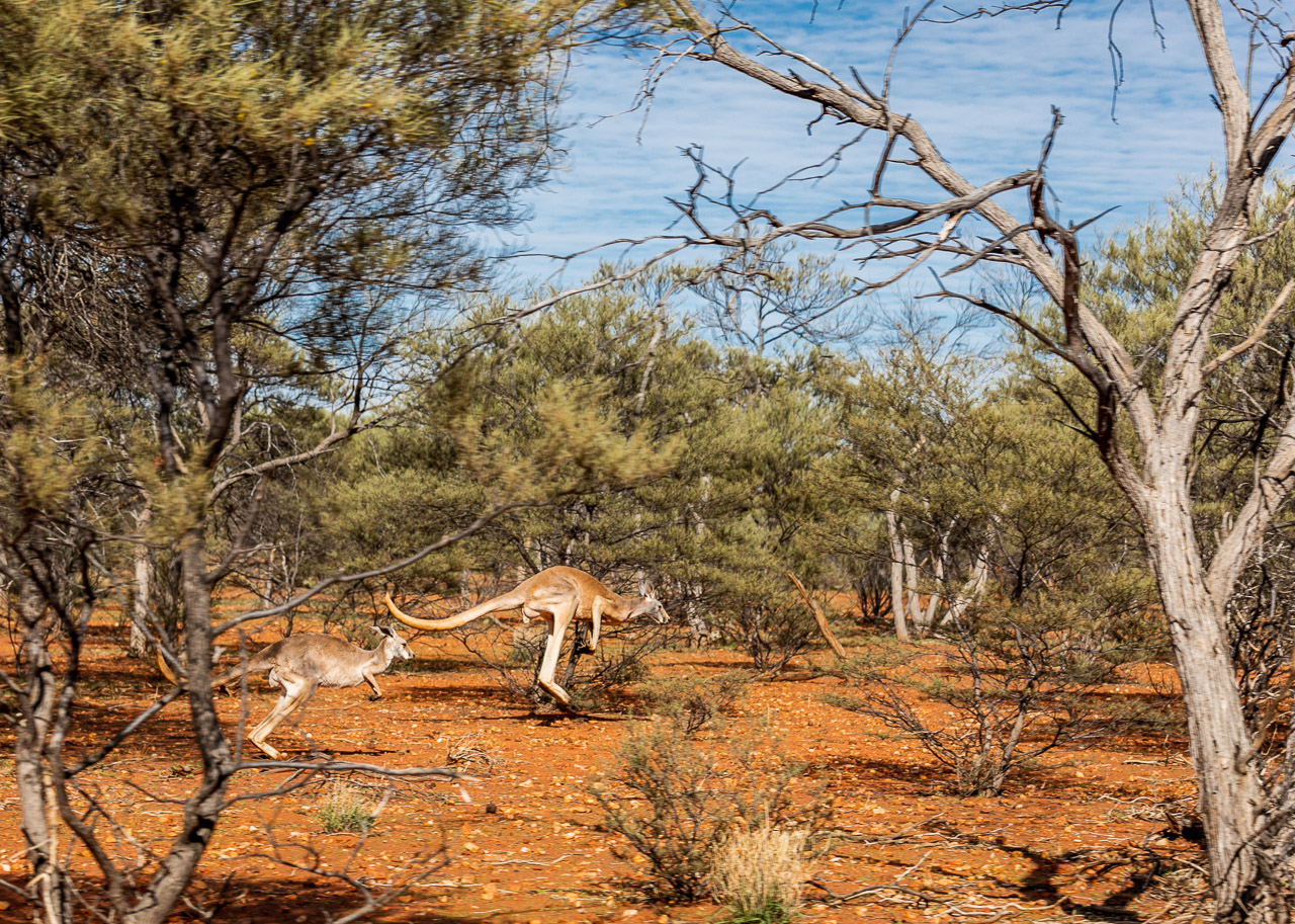 Kangaroos bounding through the bush in the outback
