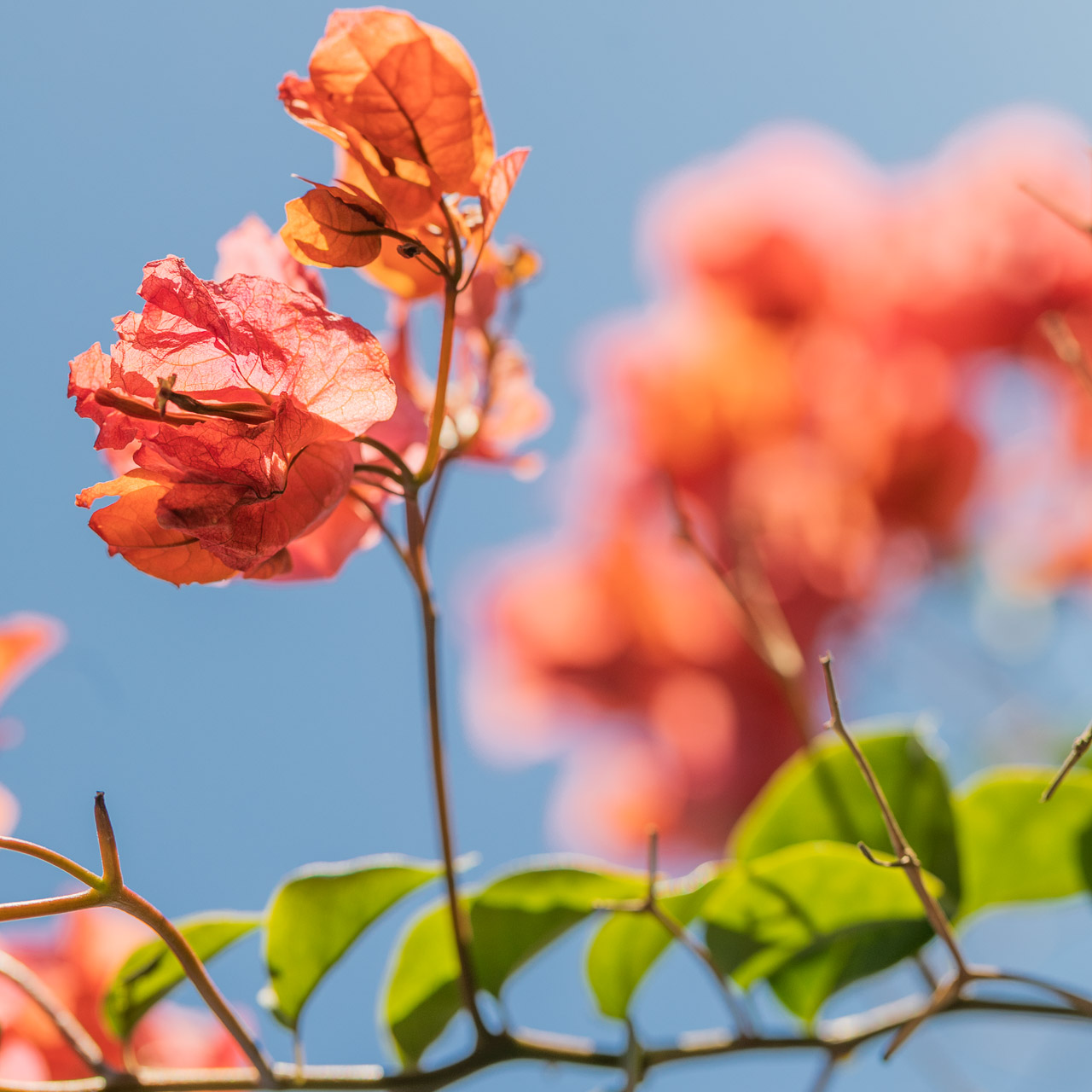 The vibrant foliage of the bougainvillea seen all around Carnarvon in WA