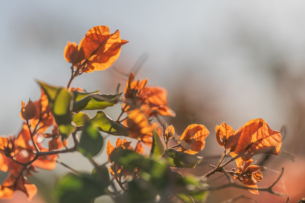 The orange bougainvillea backlit in the late afternoon light