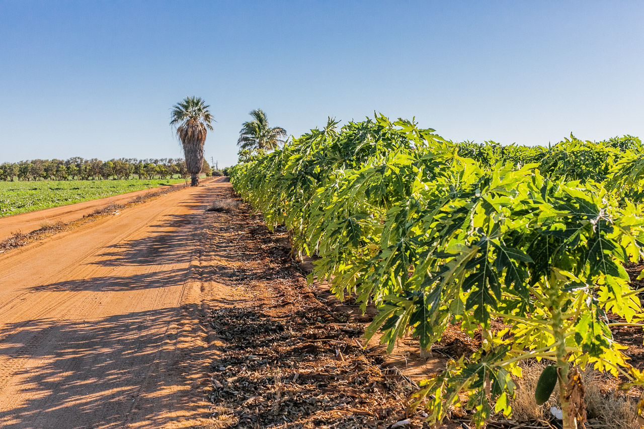 Pawpaw, or papaya, growing in Carnarvon, Western Australia