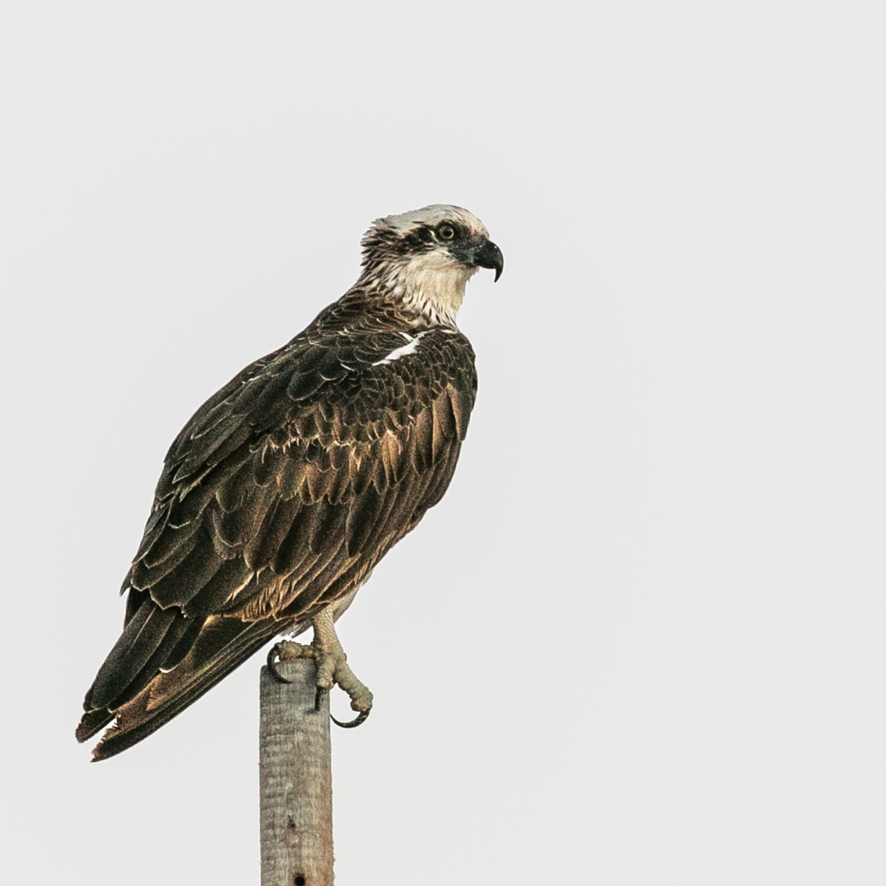 Osprey on a pole