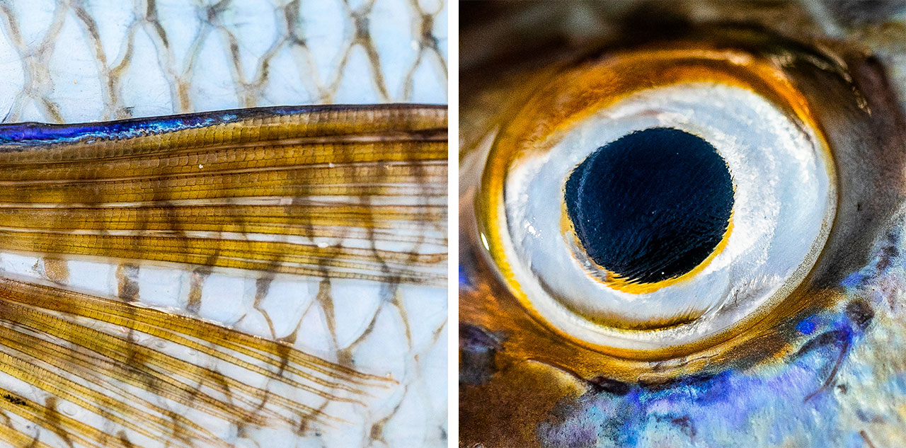 Macro photos of Spangled emperor details