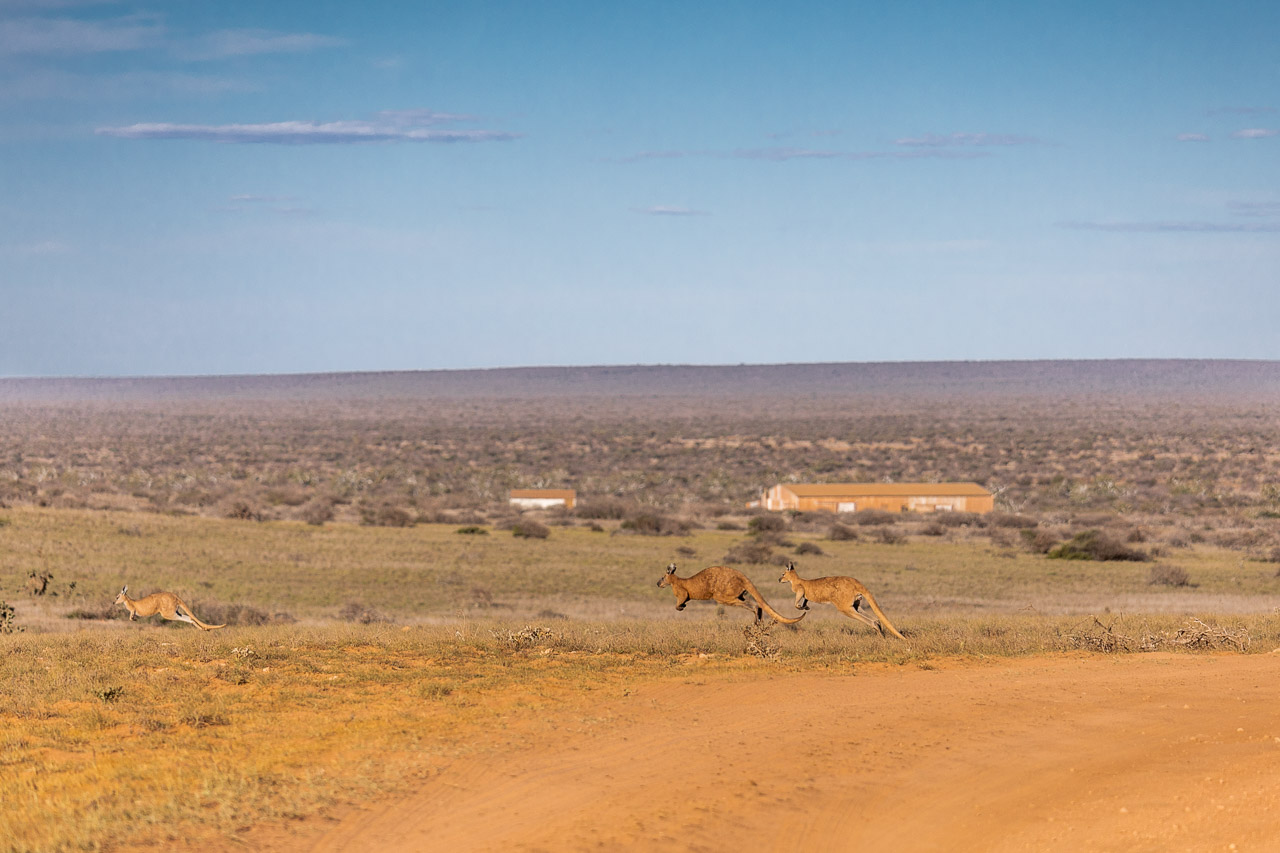 Kangaroos with station buildings and homestead in the background