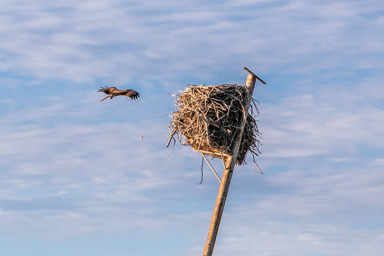 Osprey landing on its nest on top of a pole