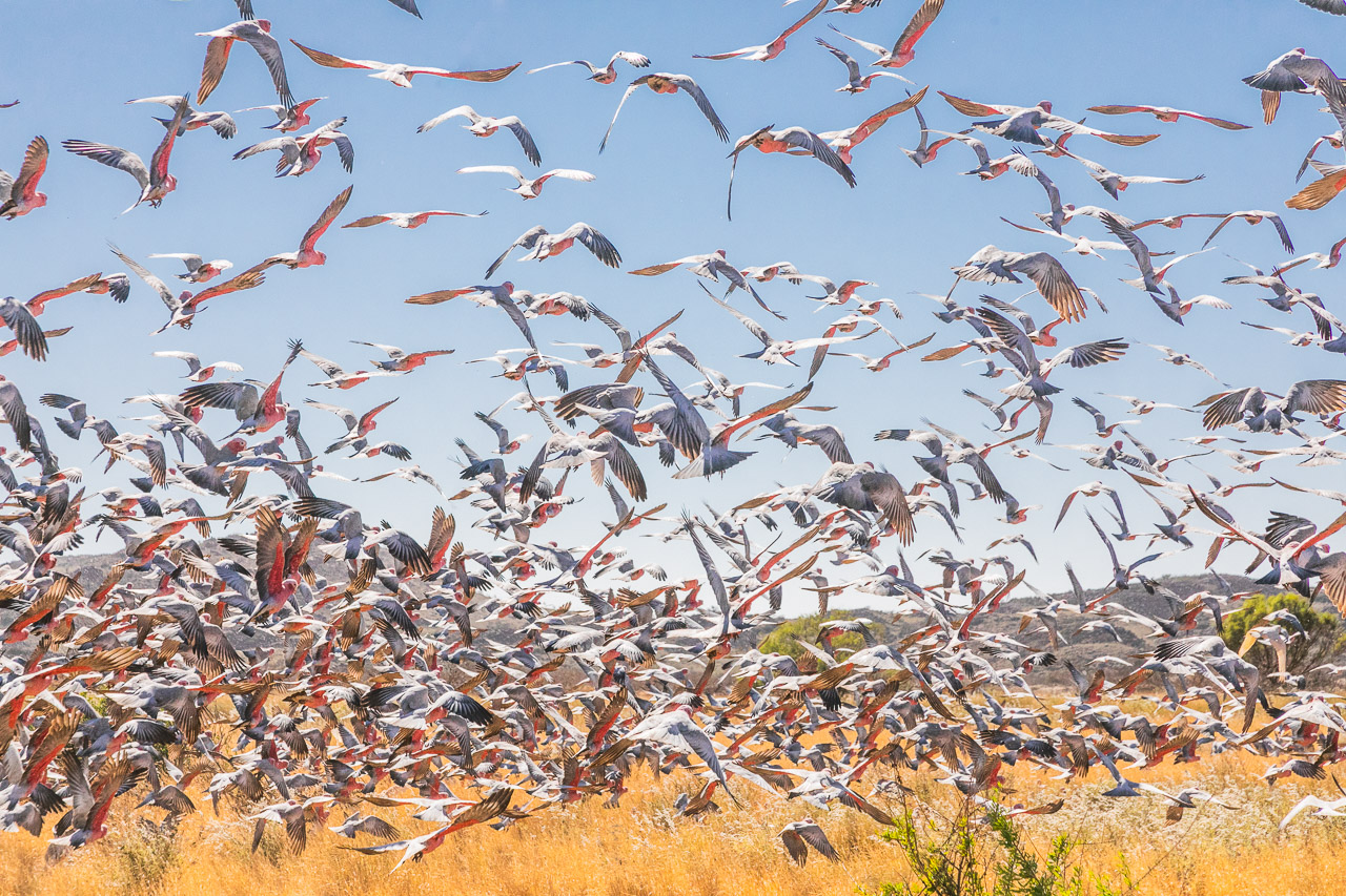 A large flock of galahs take flight on the Burrup Peninsula in Western Australia