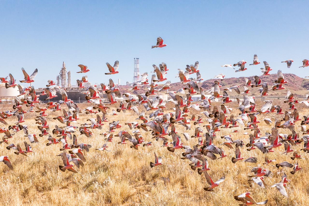 Huge flock of galahs taking flight