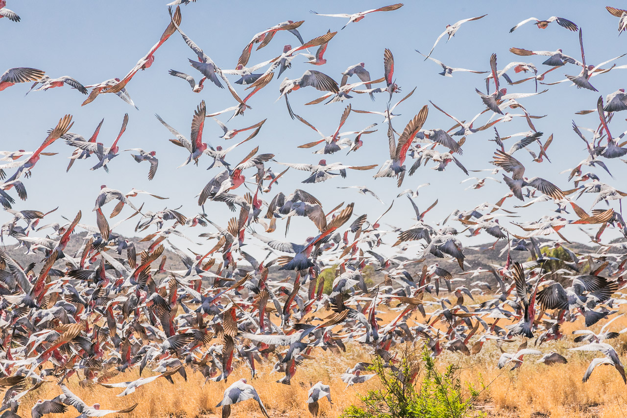 Large numbers of galahs taking flight on the Burrup Peninsula in Western Australia