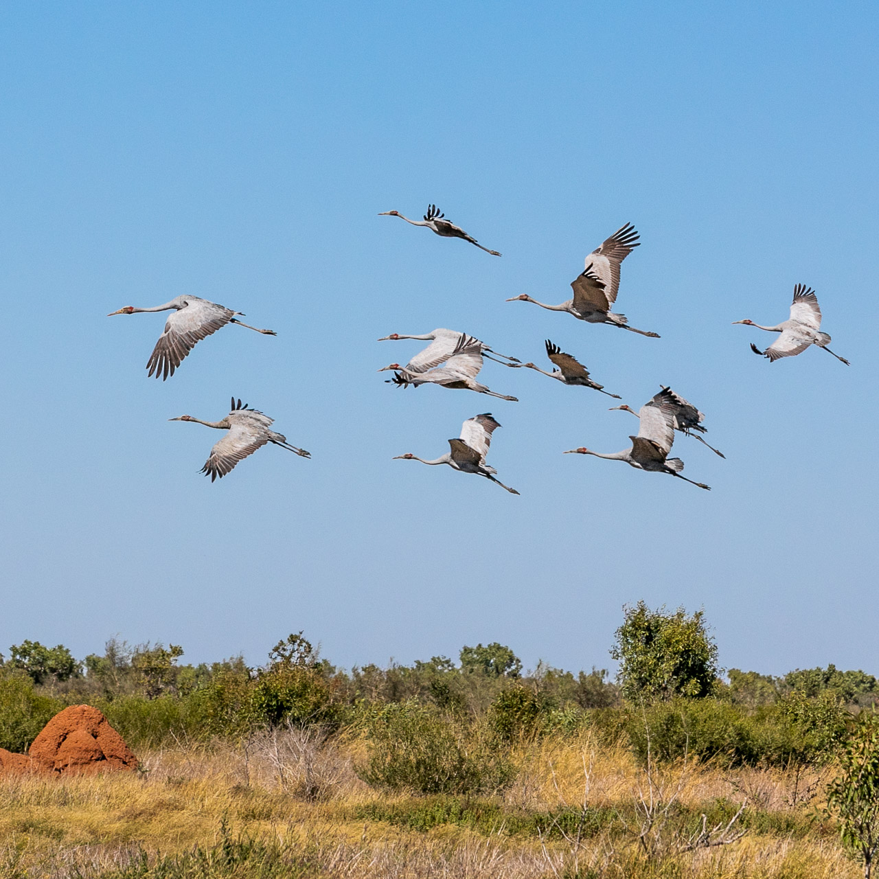 Brolgas in flight over the termite mounds in the Pilbara
