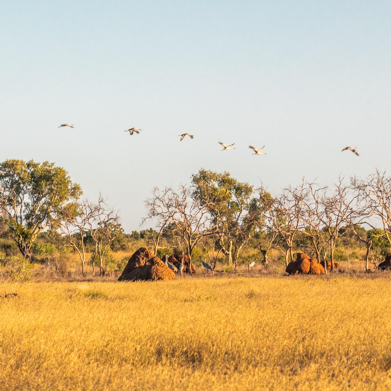 Brolgas and termite hills on the Pilbara coast