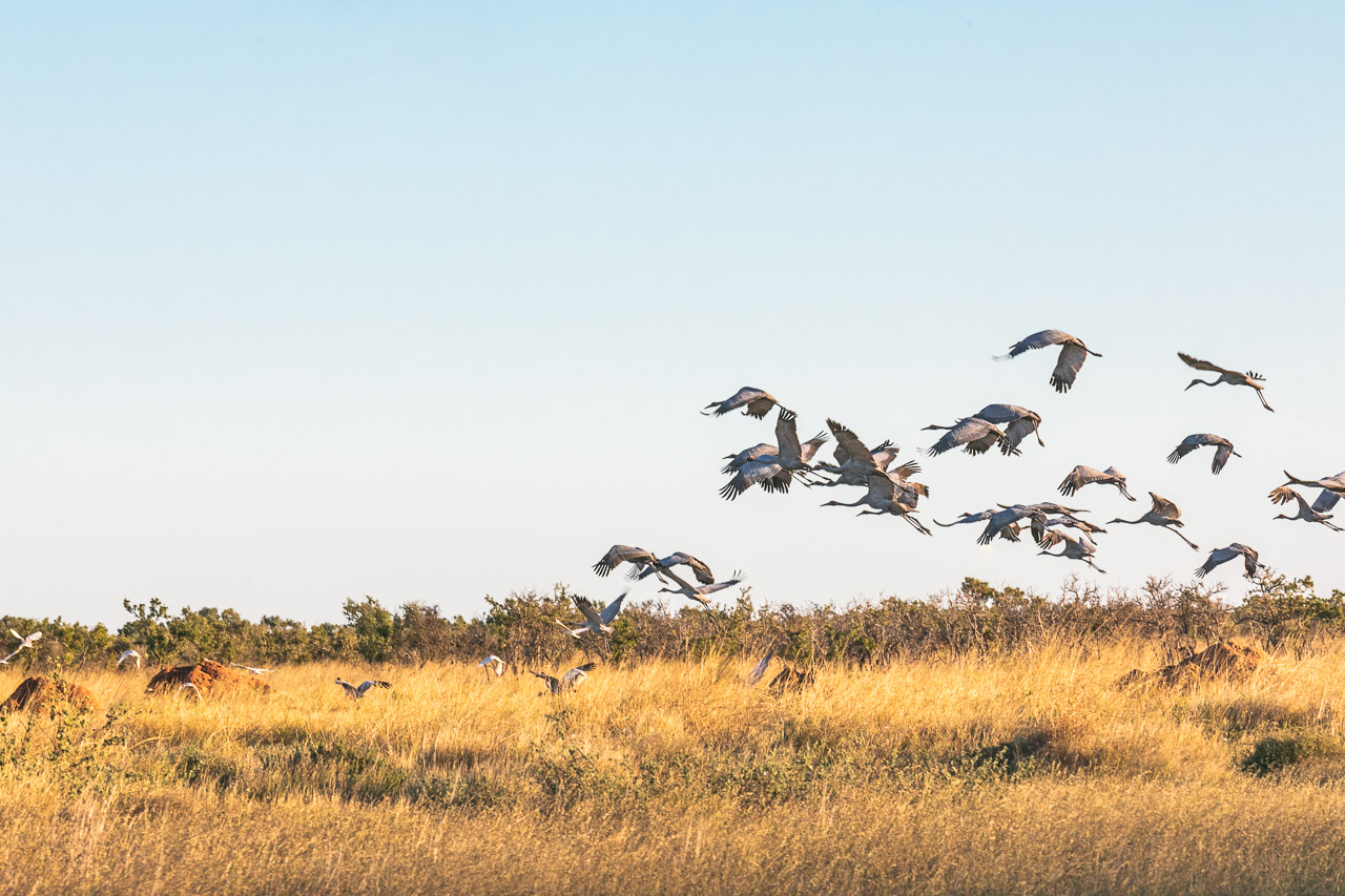 A flock of brolgas taking flight