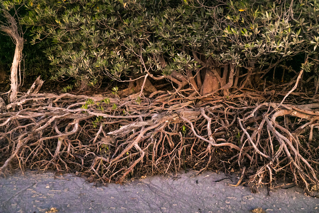 Tangled mangrove roots revealed at low tide at Port Smith