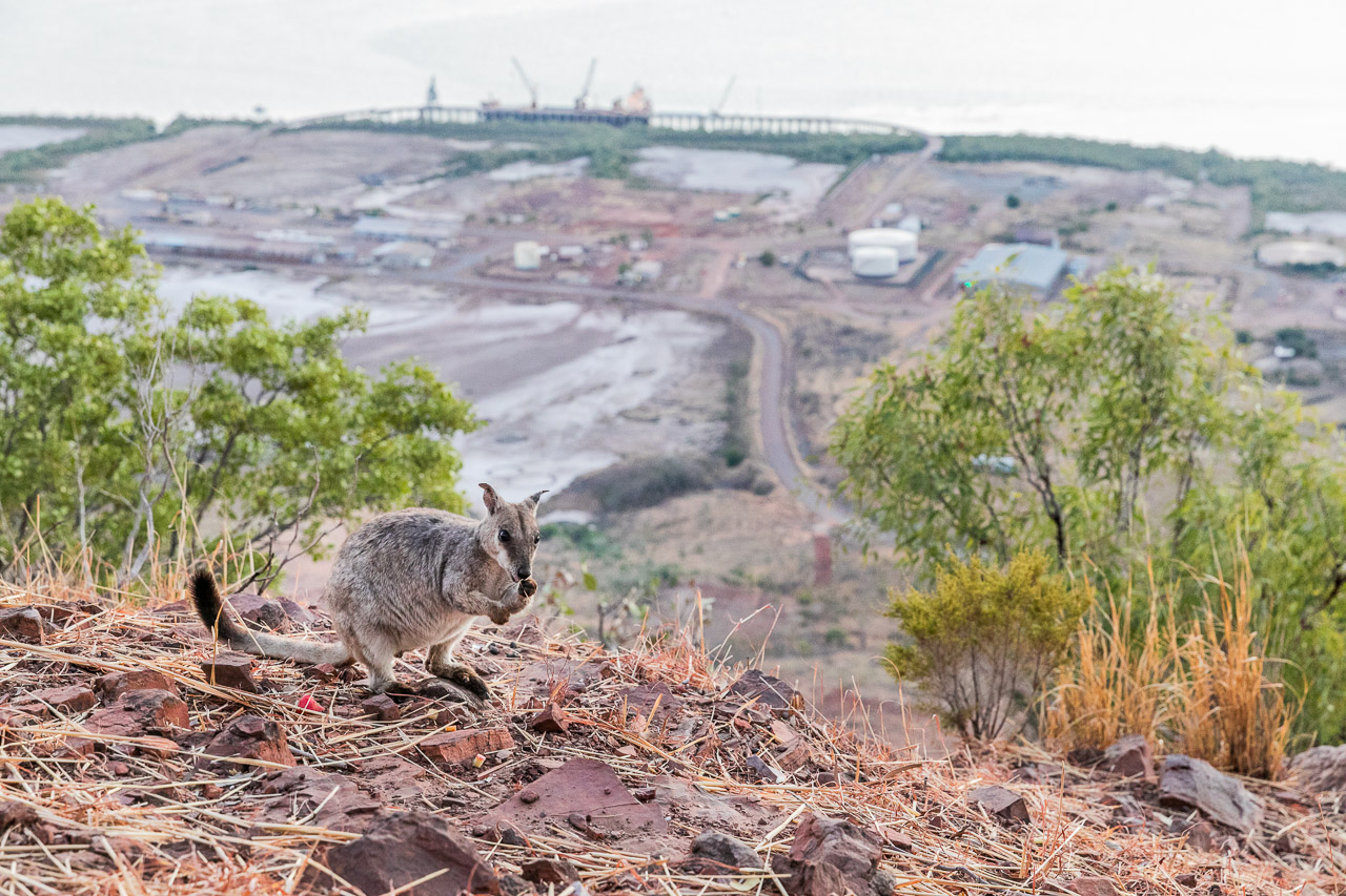 Rock wallabies at the Five Rivers Lookout (The Bastion) in Wyndham with the port in the background