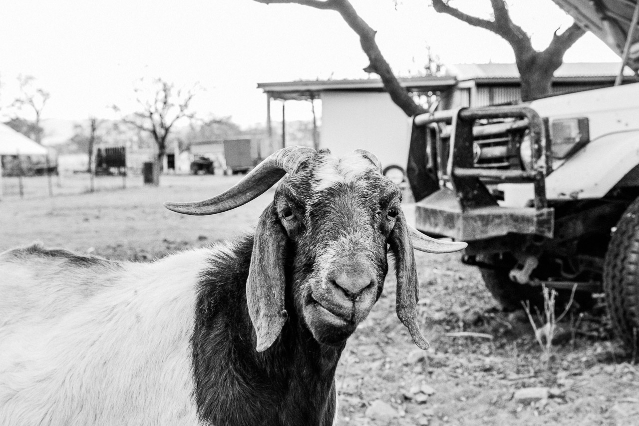 Curious goat and and old farm vehicle