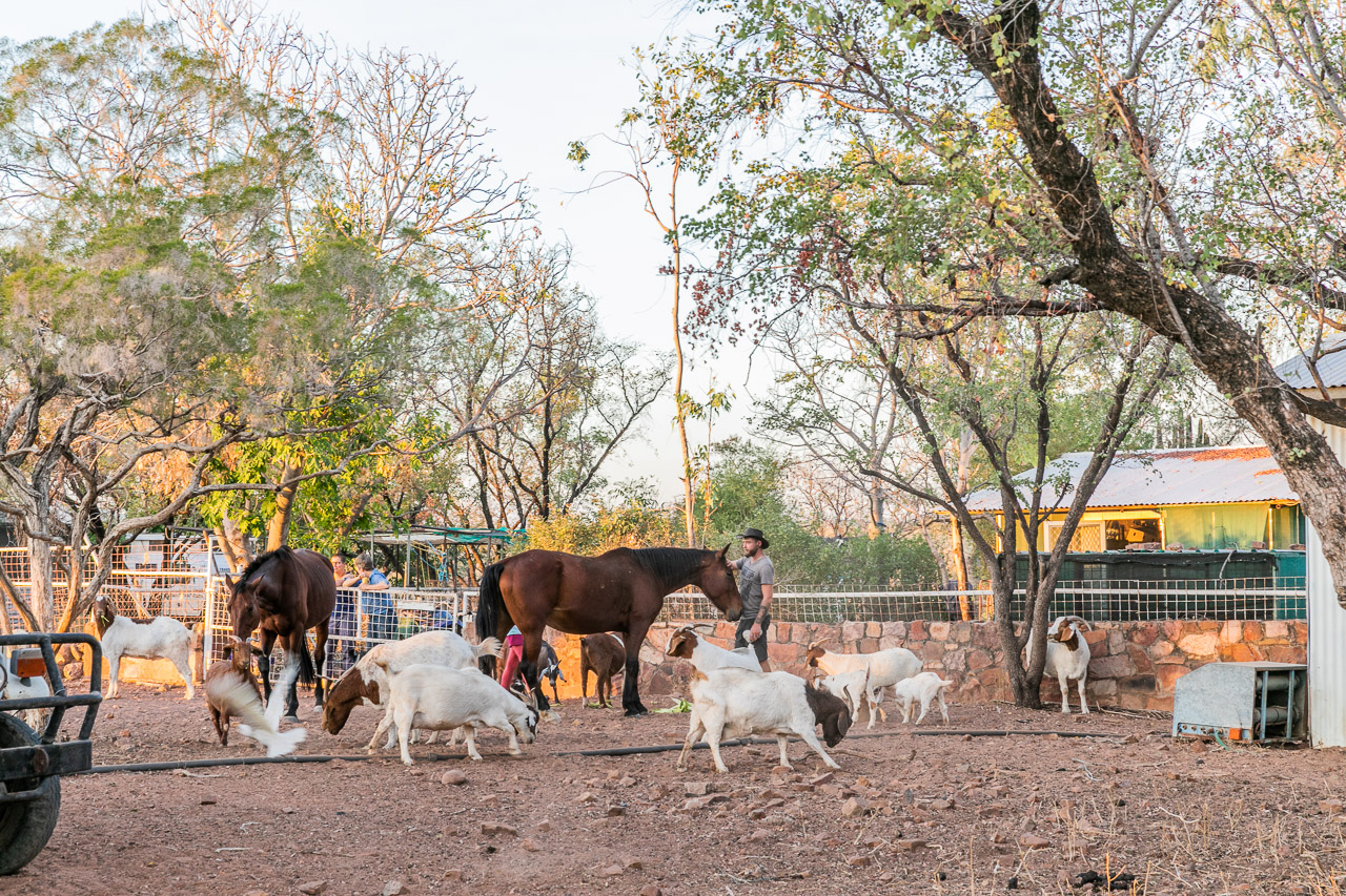 Goats and horses around the homestead at Diggers Rest Station near Wyndham in the Kimberley