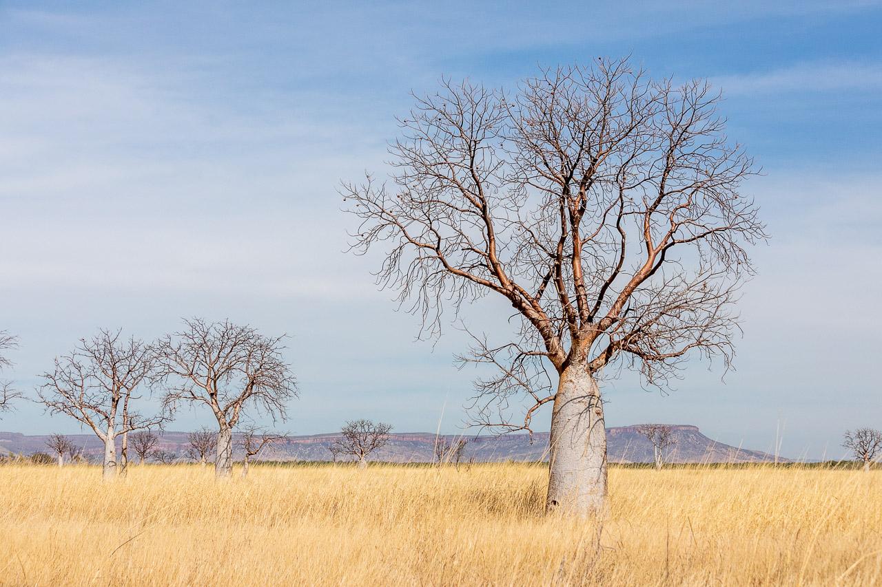 Boab trees and the Cockburn Ranges near Wyndham, Western Australia