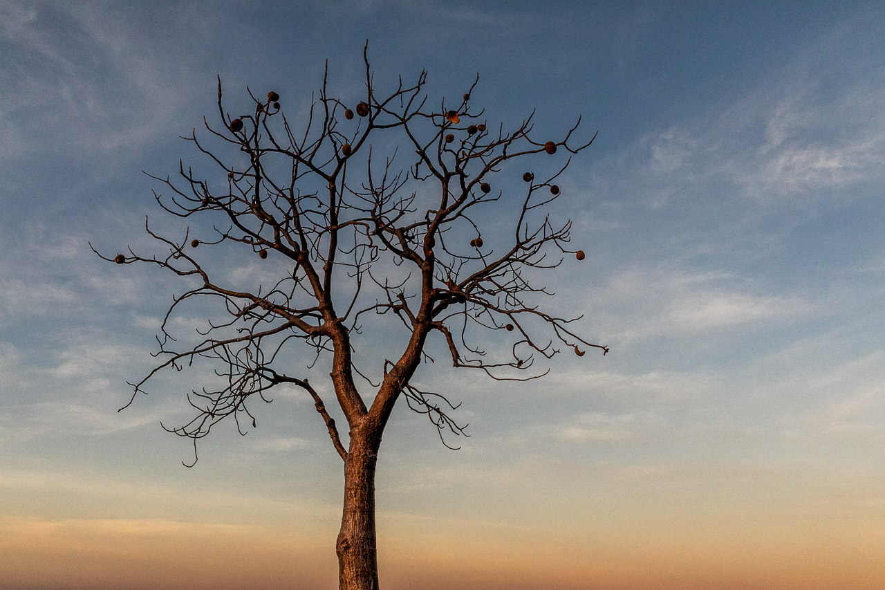 Boab tree at sunset near Wyndham in the Kimberley