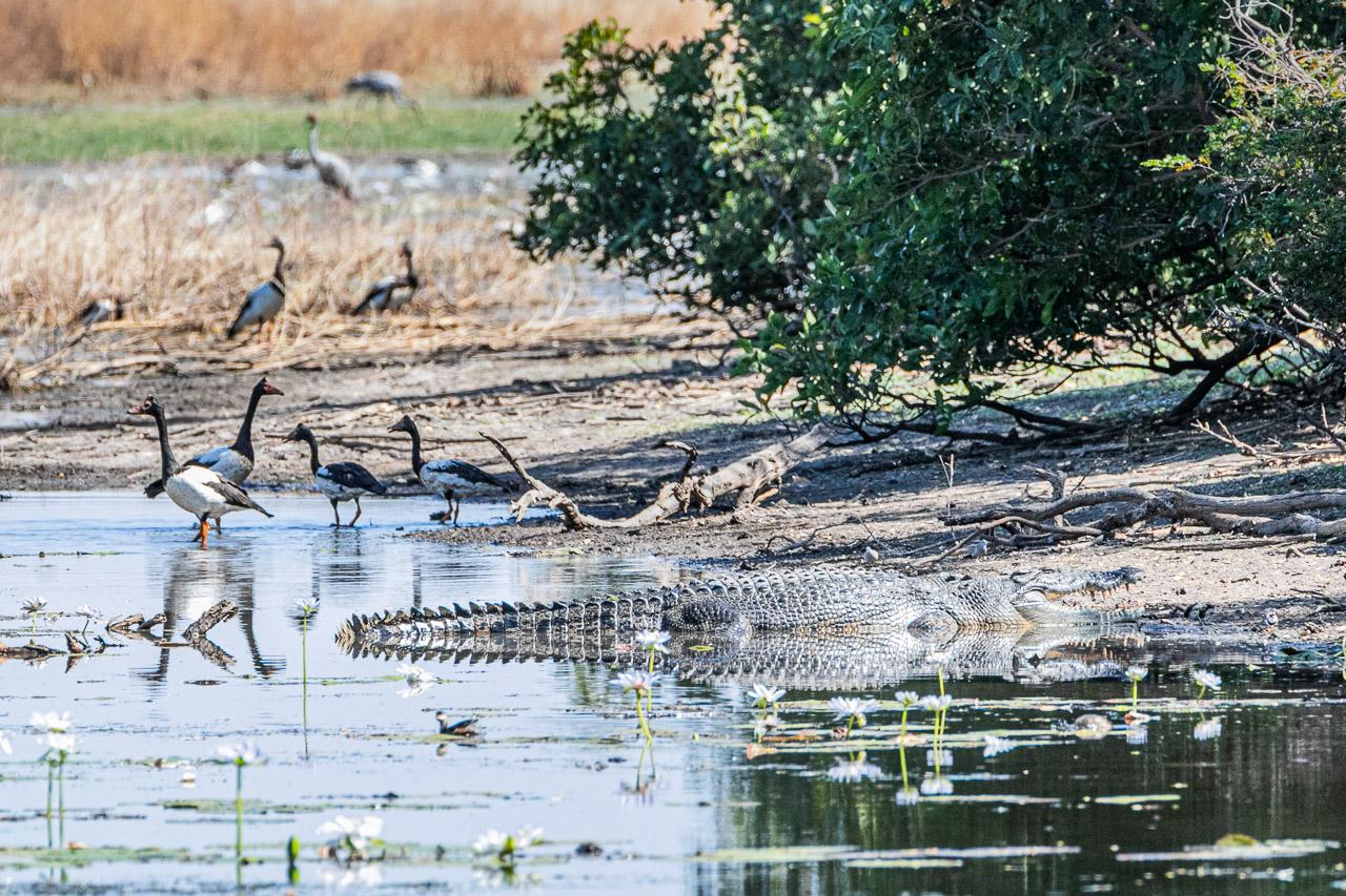 Saltwater crocodile reflecting in the water of the Marlgu Billabong near Wyndham, Western Australia