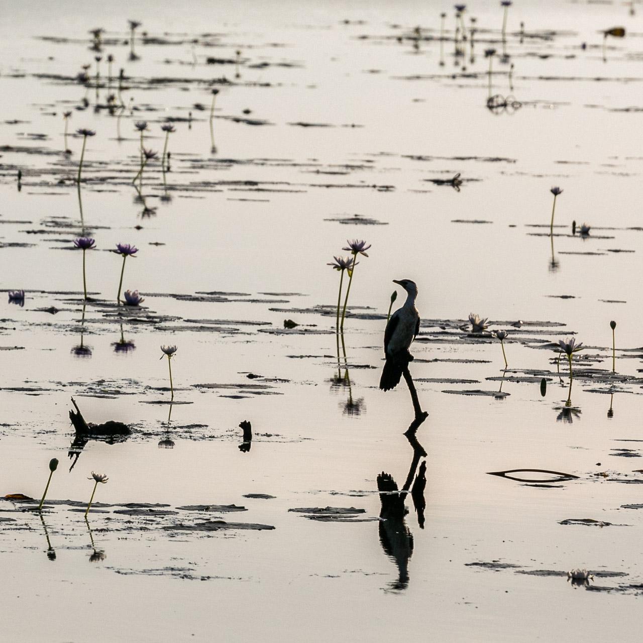 Waterbird and water lilies reflected in Marlgu Billabong, Wyndham