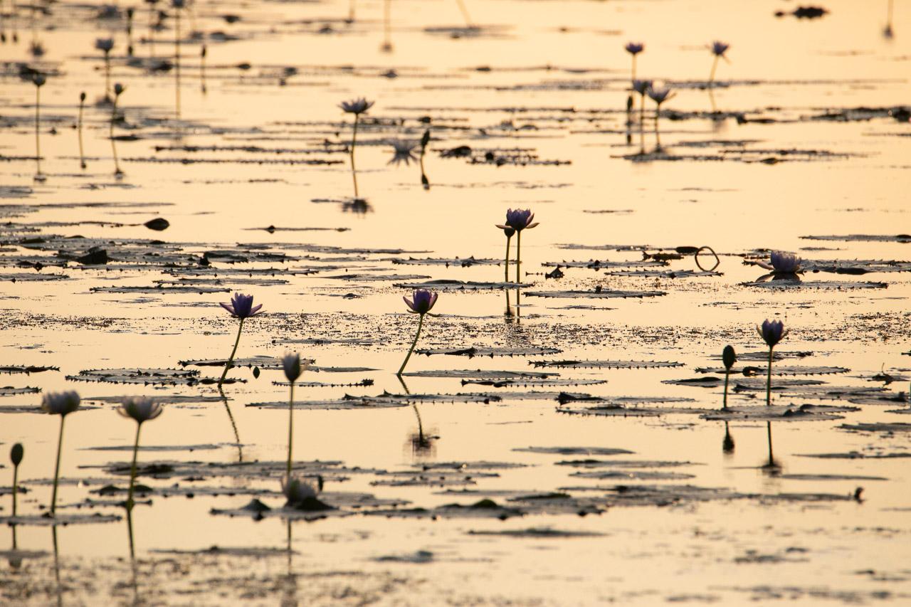 Waterlilies reflecting in Marlgu Billabong near Wyndham in Western Australia