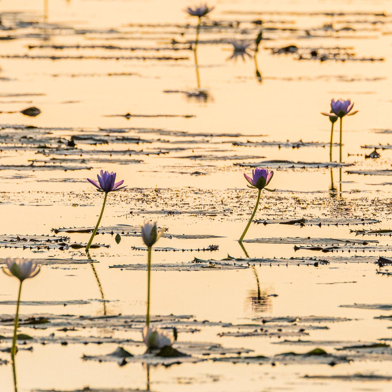 Reflections of waterlilies in Marlgu Billabong, Western Australia