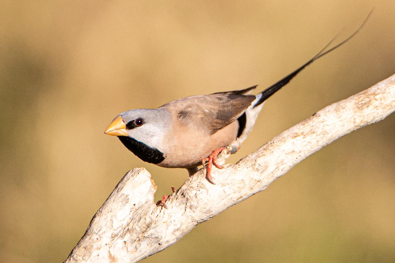 Long-tailed finch seen in Wyndham, Western Australia