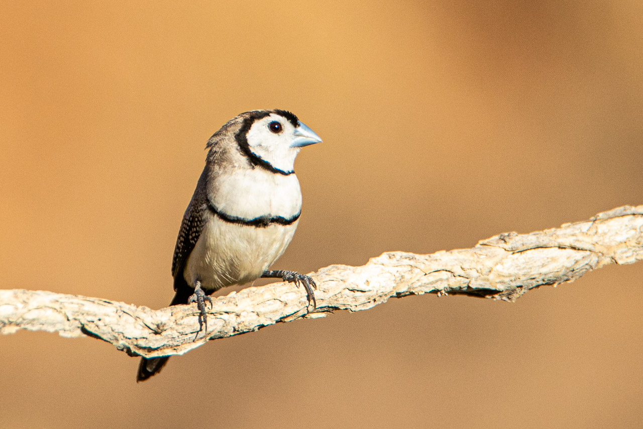 The double-barred finch photographed in Wyndham, WA