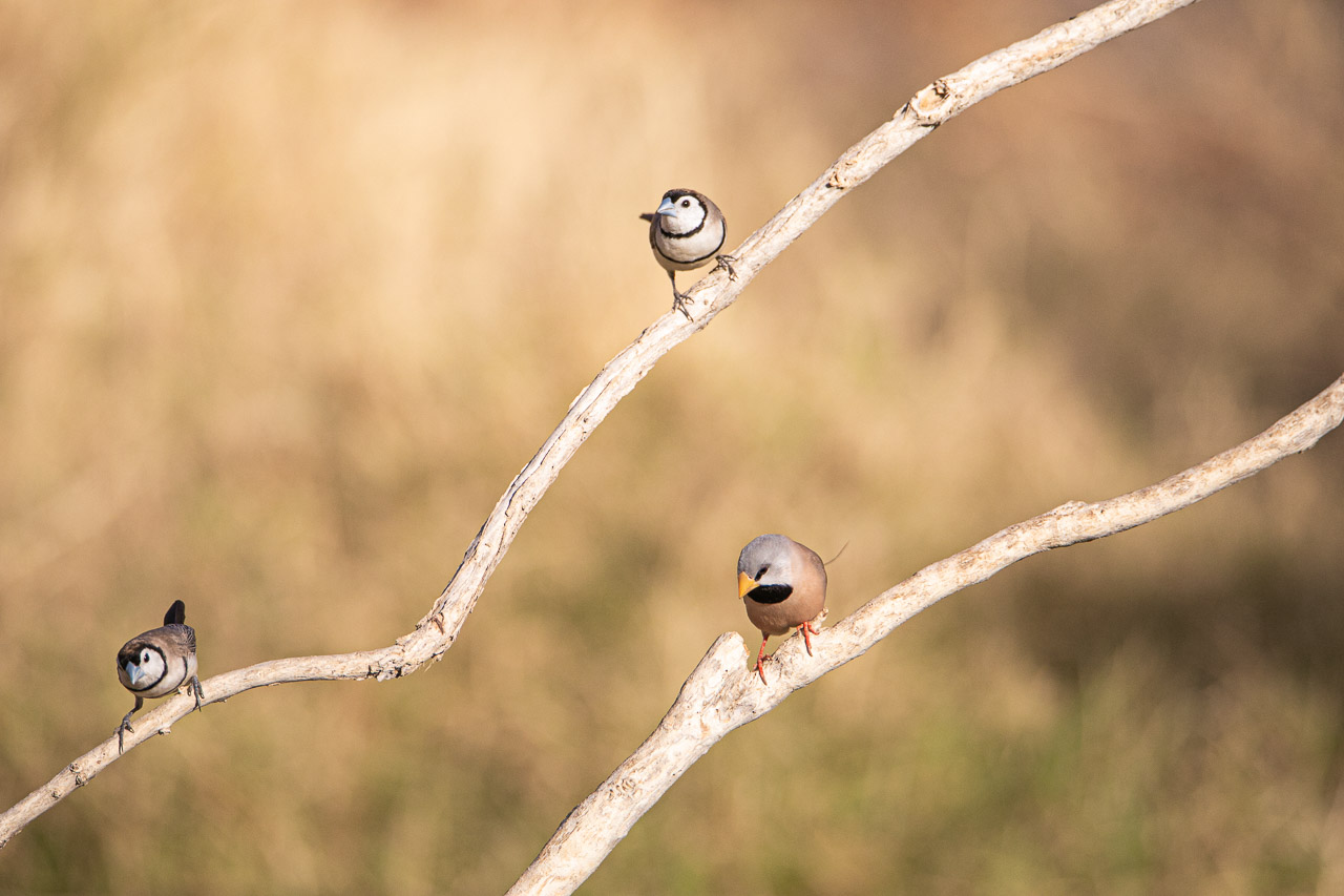 Fauna-birds-Wyndham-WA-13.jpg