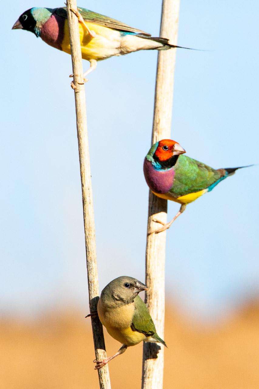 Gouldian finches in Wyndham WA