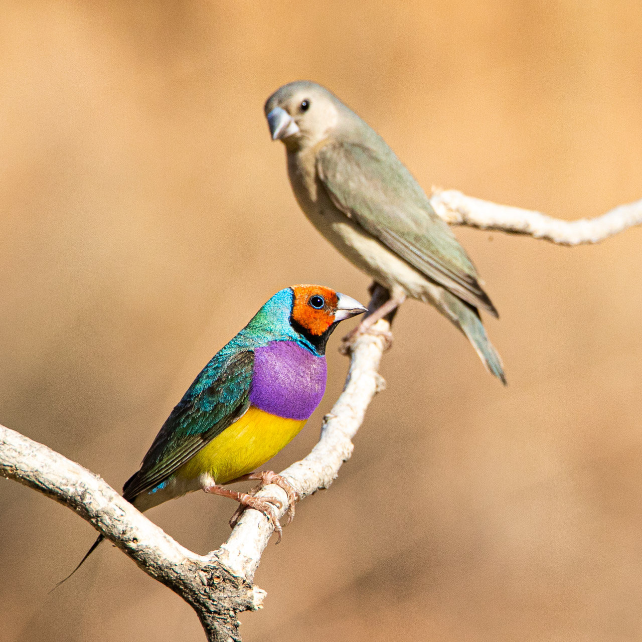 Adult and juvenile gouldian finches in Wyndham WA
