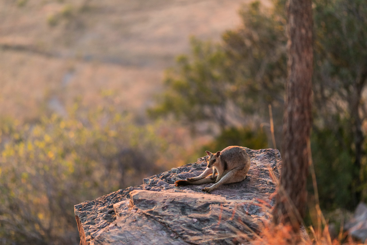 High above Wyndham, the rock wallaby sits on the cliff edge