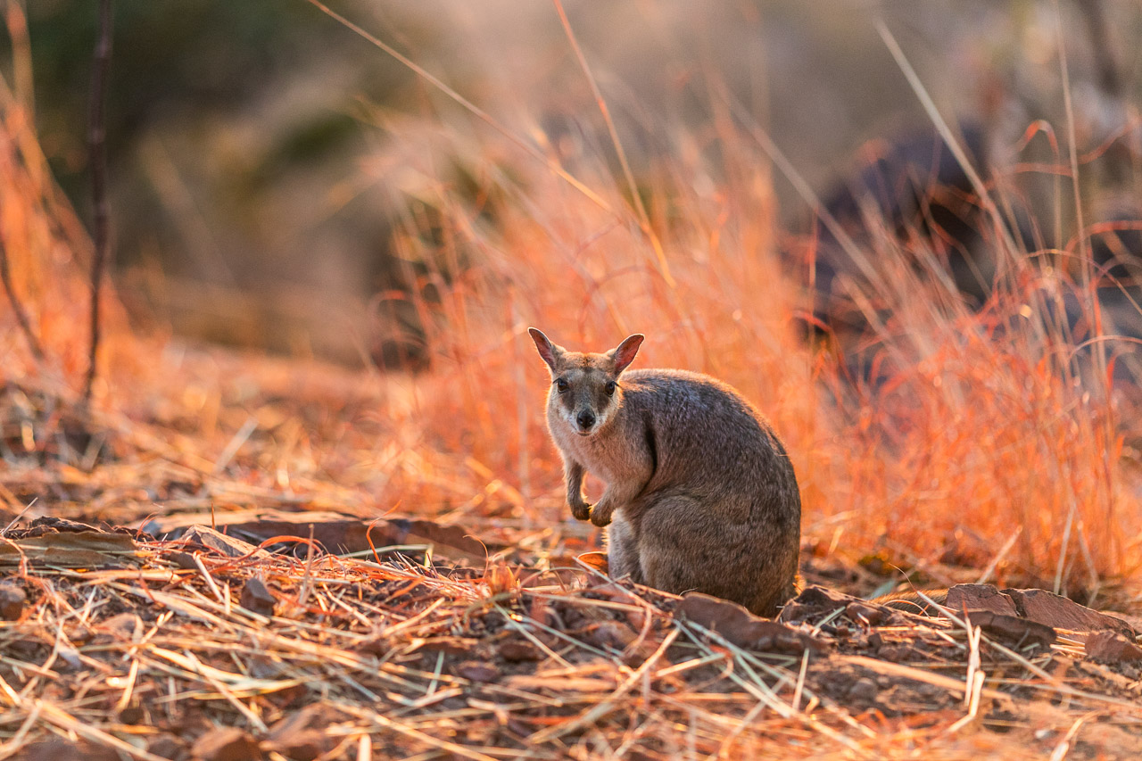 Rock wallaby in the evening light in Wyndham at the Bastion lookout