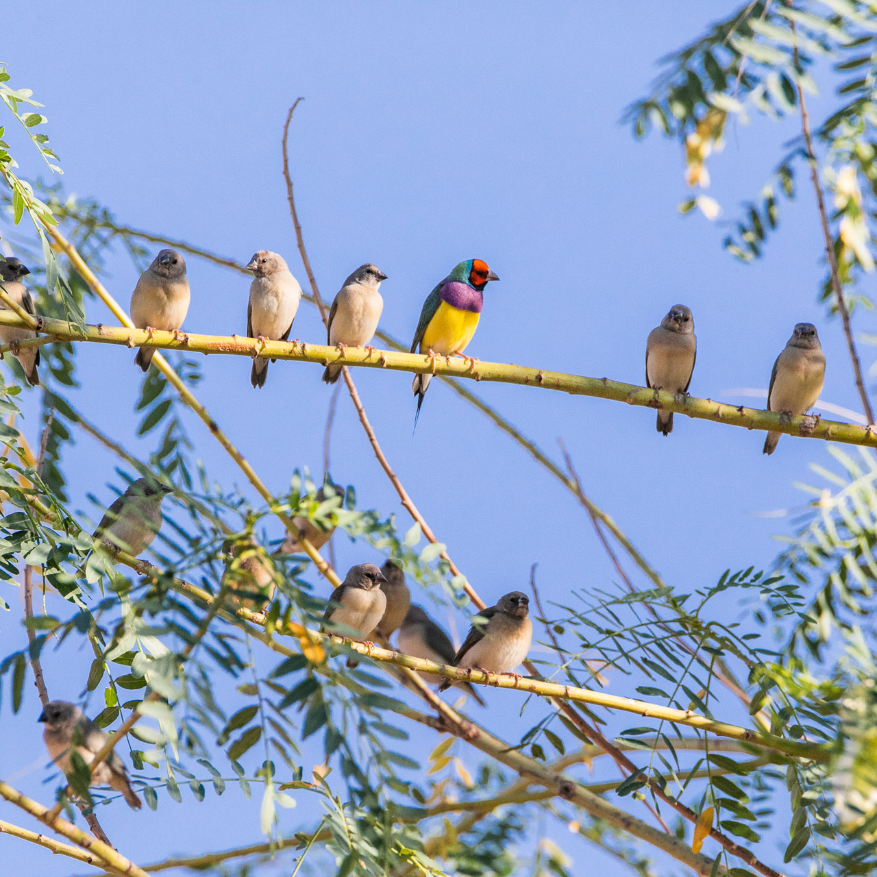 A flock of juvenile gouldian finches with one adult male.