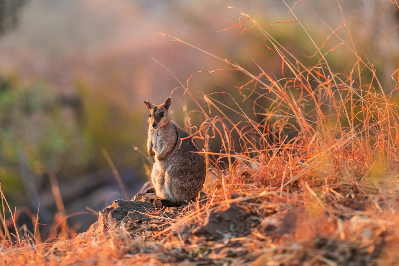 A rock wallaby at the Five Rivers Lookout at Wyndham in the Kimberley region of WA