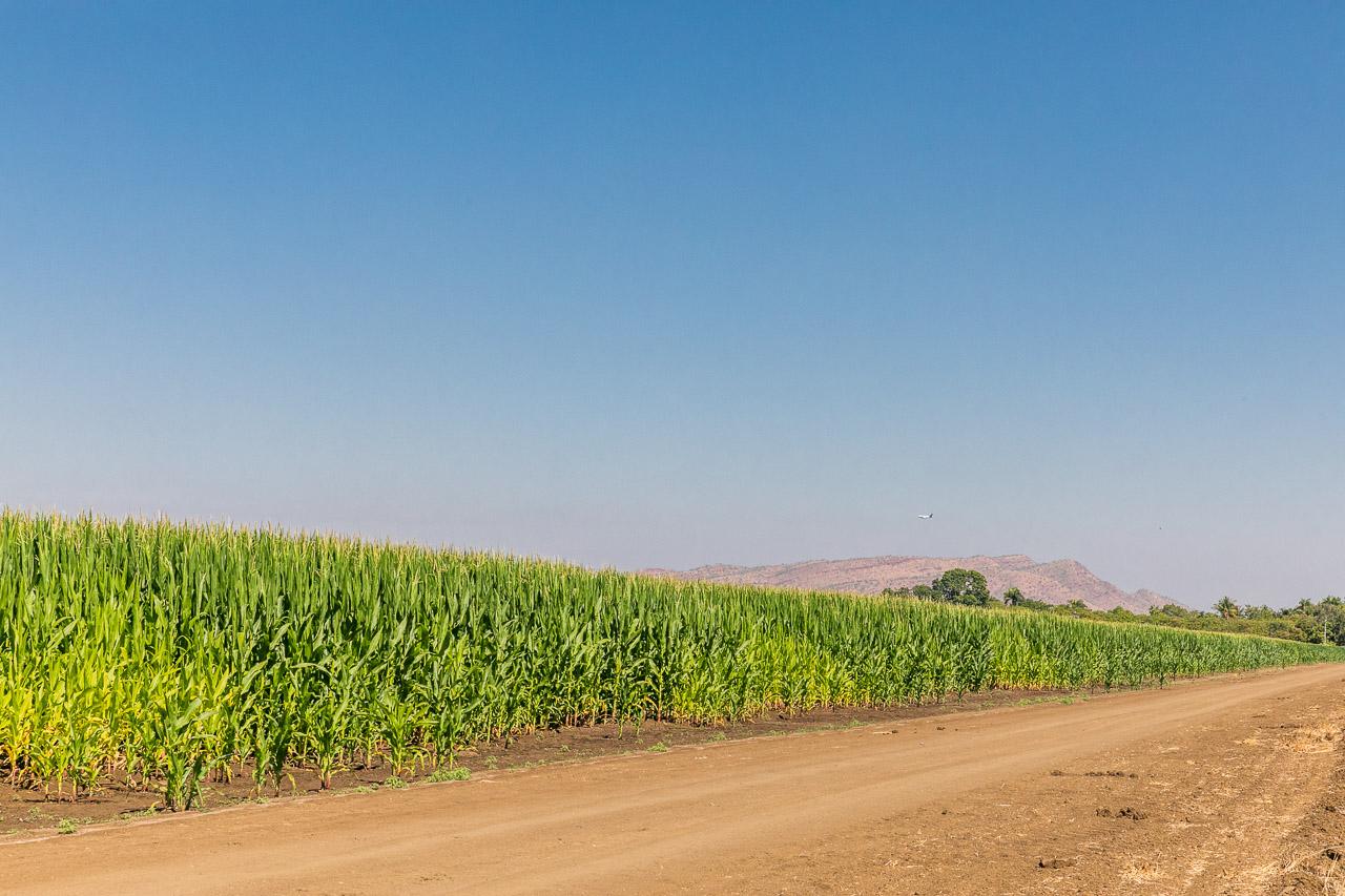 Rows of sweet corn with mountain range in the distance, near Kununurra in the Kimberley region of Western Australia