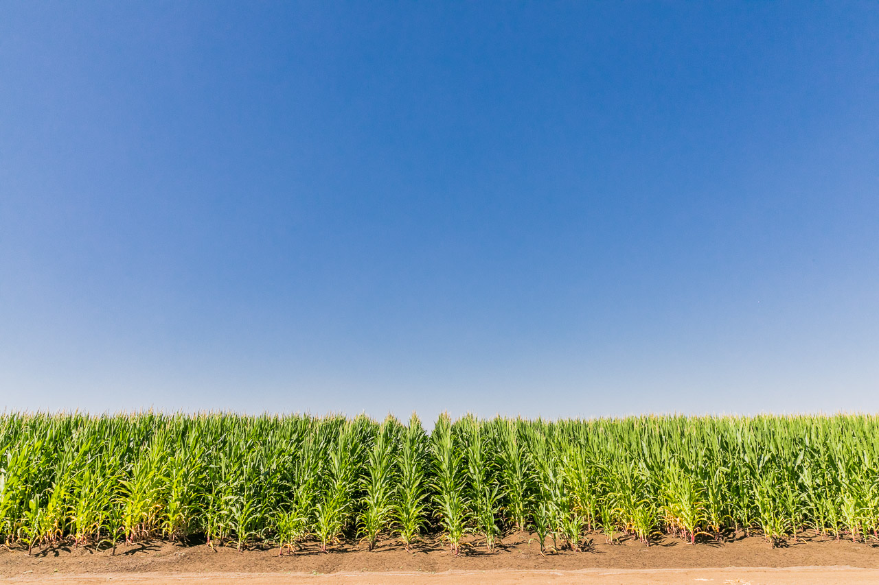Rows of sweet corn and big blue sky
