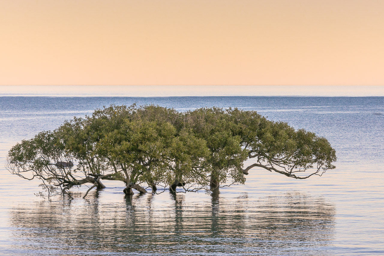 Mangroves at sunset at Town Beach in Broome