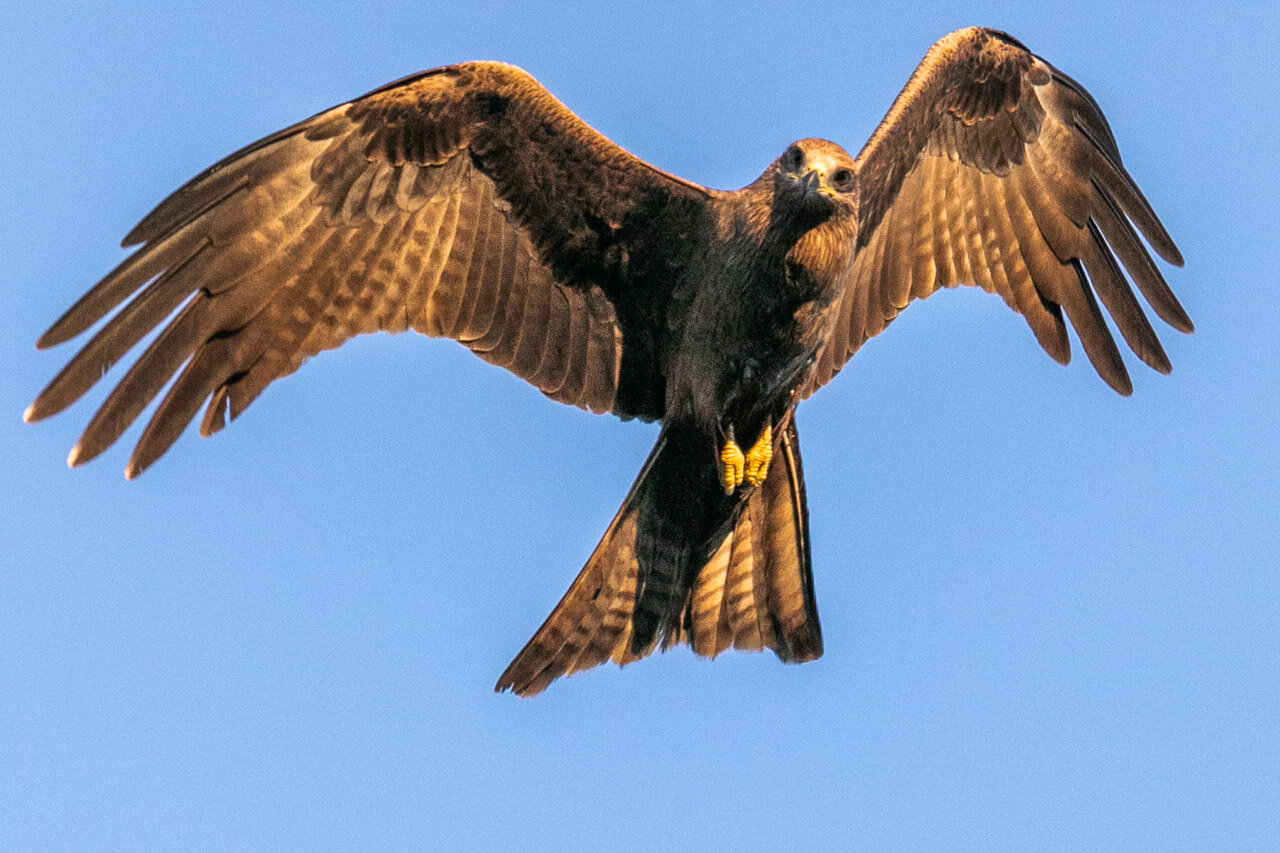 Large flocks of raptors are often seen in the skies above Broome