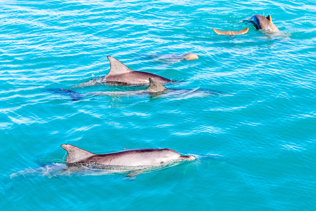Snub fin and  bottle nose dolphins in Roebuck Bay in Broome