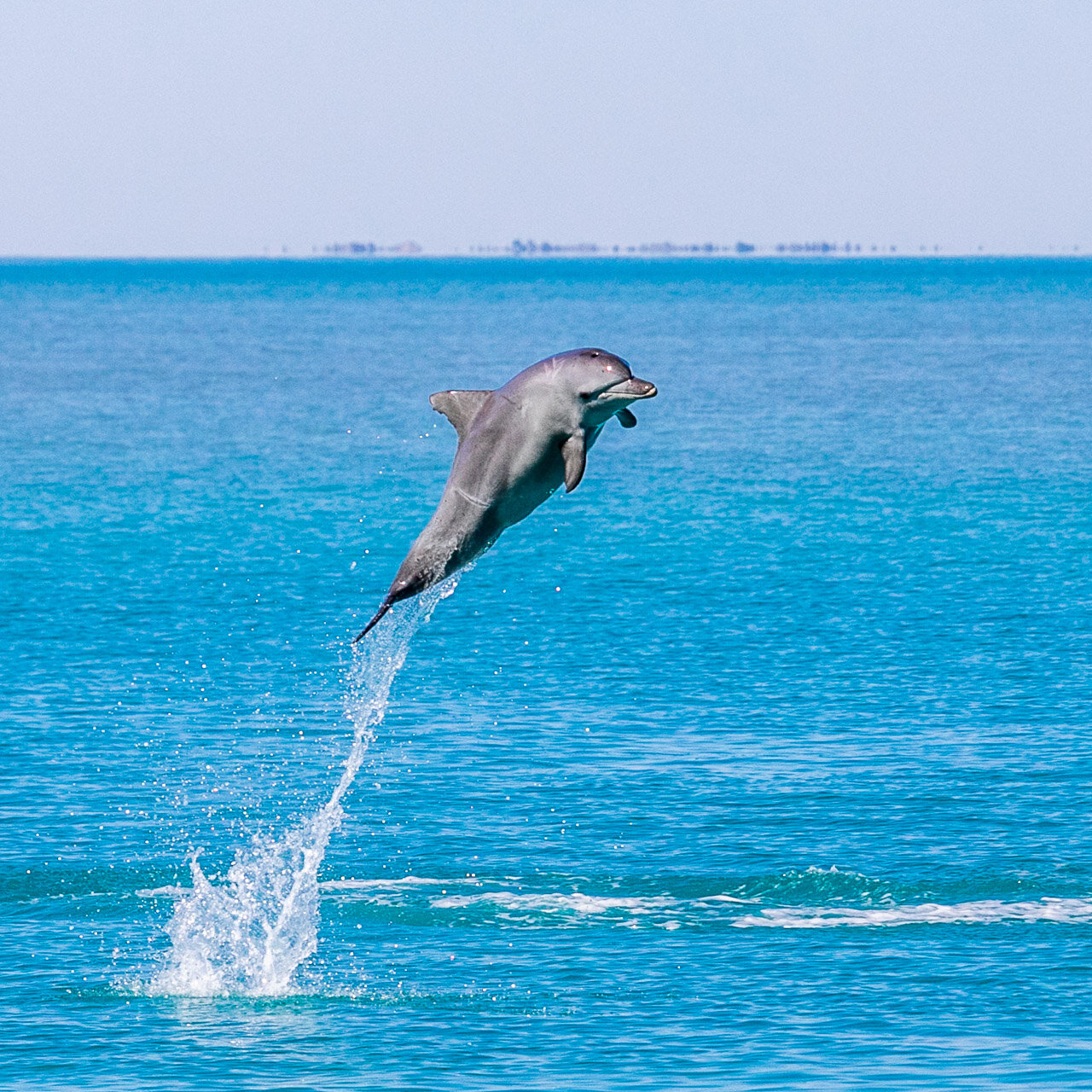 Aerial display by a bottlenose dolphin in Roebuck Bay, Broome
