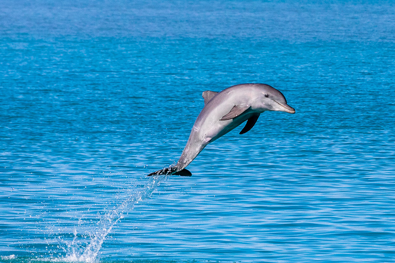 A bottlenose dolphin takes to the air and smiles for the camera in Broome's Roebuck Bay
