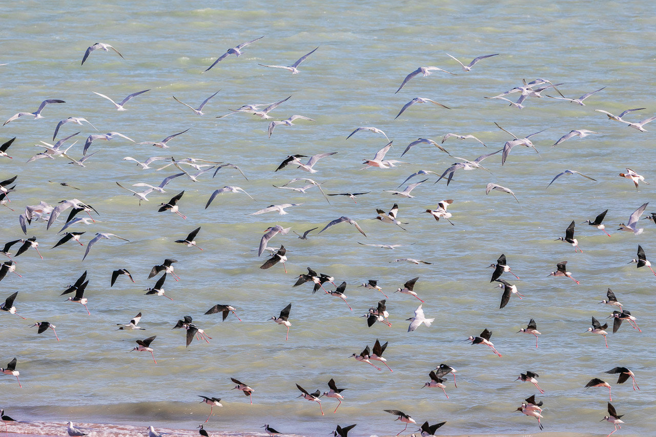 Large flocks of birds at Crab Creek including red-necked avocets and black-winged stilts